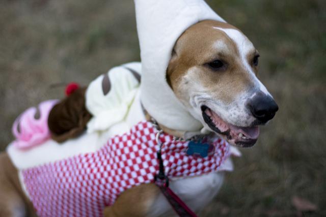a dog dressed as a banana split!