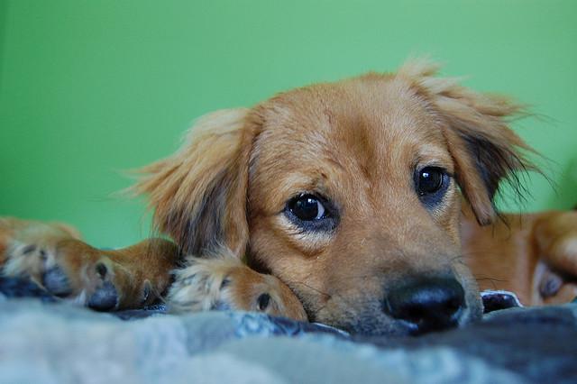 anxious pupster